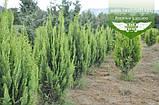 Chamaecyparis lawsoniana 'Alumigold', Кипарисовик Лавсона 'Алюміголд',WRB - ком/сітка,60-80см, фото 4