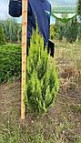 Chamaecyparis lawsoniana 'Alumigold', Кипарисовик Лавсона 'Алюміголд',WRB - ком/сітка,60-80см, фото 6