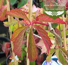 Parthenocissus quinquefolia, Дівочий виноград п'ятилисточковий,C2 - горщик 2л