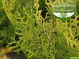 Thuja occidentalis 'Golden Brabant', Туя західна 'Голден Брабант',WRB - ком/сітка,60-80см, фото 5
