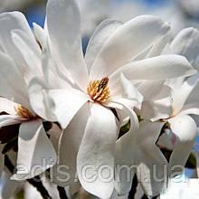 Magnolia loebneri Merrill у контейнері 1 л вік 3 р.