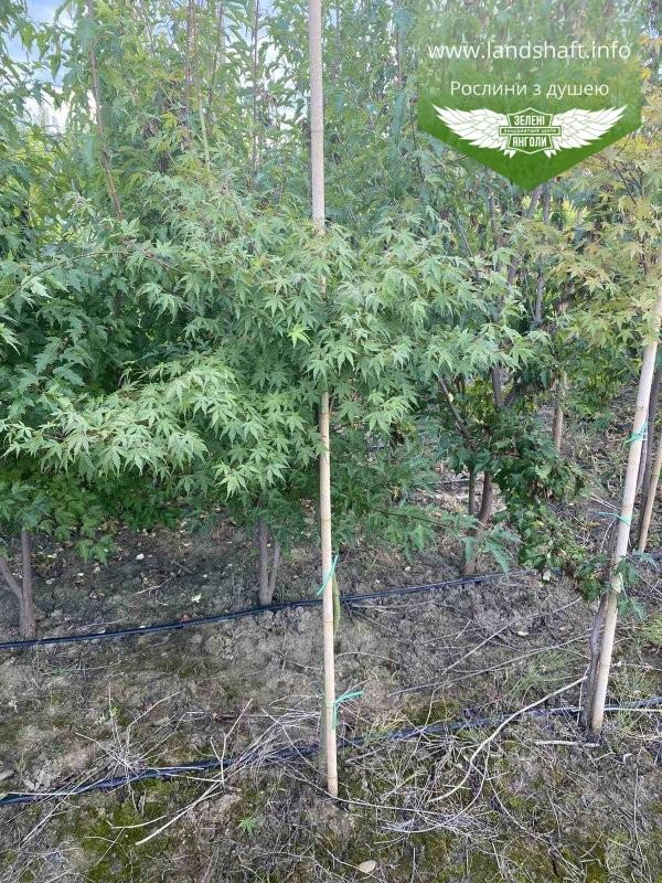 Acer palmatum, Клен пальмолистий,WRB - ком/сітка,140-160см