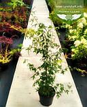 Acer palmatum, Клен пальмолистий,WRB - ком/сітка,140-160см, фото 2