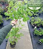Acer palmatum, Клен пальмолистий,WRB - ком/сітка,140-160см, фото 3
