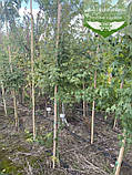 Acer palmatum, Клен пальмолистий,WRB - ком/сітка,140-160см, фото 4