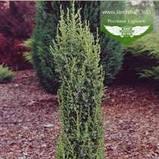 Juniperus communis 'Arnold', Ялівець звичайний 'Арнольд',WRB - ком/сітка,80-100см, фото 2