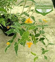 Kerria japonica 'Picta', Керія японська 'Пікта',C2 - горщик 2л