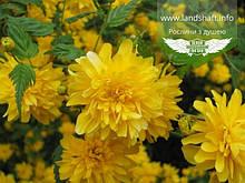 Kerria japonica 'Pleniflora', Керія японська 'Пленіфлора',C2 - горщик 2л