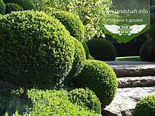 Buxus sempervirens, Самшит вічнозелений,35-45см,RB - ком