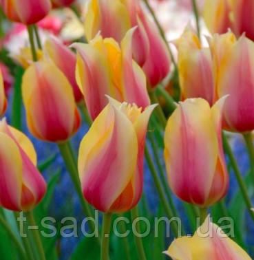 Тюльпан Blushing Lady гігант 11/12