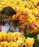 Тюльпан Blushing Lady гігант 11/12, фото 3
