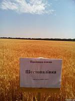 Озима пшениця Шестопавлівка (1 репродукція)