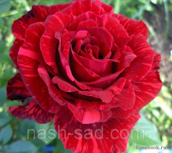 Саженцы розы Ред Интуишн