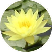 Кувшинки (нимфеи) желтой цветовой группы