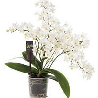 Миди орхидея мультифлора