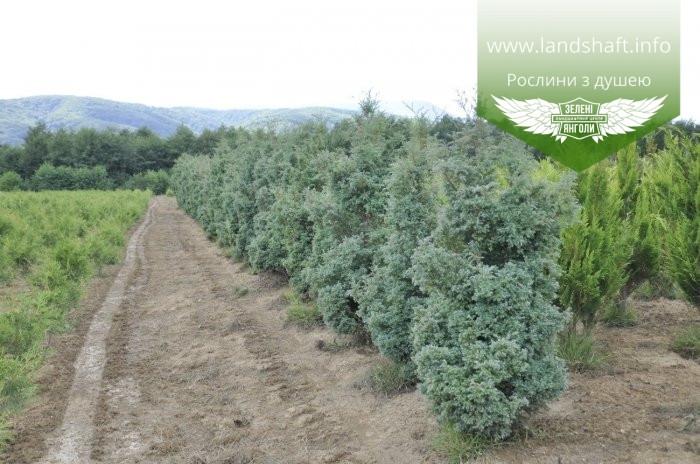 Chamaecyparis pisifera 'Squarrosa', Кипарисовик горохоплідний 'Сквароза',WRB - ком/сітка,280-300см