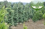 Chamaecyparis pisifera 'Squarrosa', Кипарисовик горохоплідний 'Сквароза',WRB - ком/сітка,280-300см, фото 4