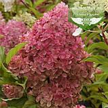 Hydrangea paniculata 'Pink Diamond', Гортензія волотиста 'Пінк Даймонд',C2 - горщик 2л, фото 2