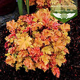 Heuchera hybrida 'Marmalade', Гейхера 'Мармелейд',C2 - горщик 2л, фото 2