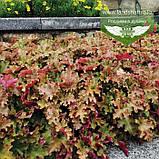 Heuchera hybrida 'Marmalade', Гейхера 'Мармелейд',C2 - горщик 2л, фото 3
