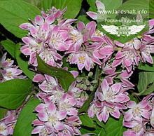 Deutzia hybrida 'Strawberry Fields', Дейція гібридна 'Стробері Філдс',C2 - горщик 2л