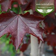 Acer platanoides 'Royal Red', Клен гостролистий 'Роял Ред',WRB - ком/сітка,250-300см,PA160-180,TG10-12
