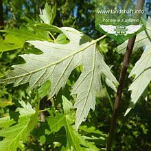 Acer saccharinum, Клен цукристий,WRB - ком/сітка,300-350см,TG10-12