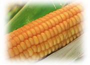 Гибрид кукурузы Эс Пароли