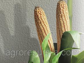 Насіння кукурудзи НК Селест, Сингента
