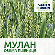 Озима пшениця Мулан, фото 3