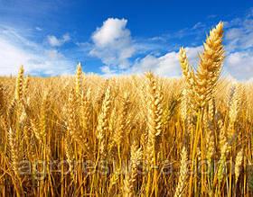 Озима пшениця Глаукус