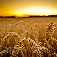 Пшениця озима Антонівка (еліта)