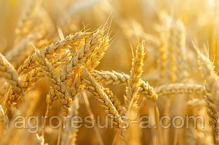 Пшениця озима Подяка Одеська (еліта)