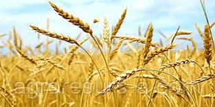 Насіння пшениці озимої Бунчук (еліта)