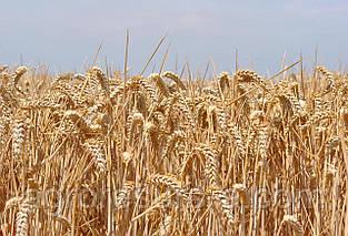 Насіння пшениці озимої Епоха Одеська (1 репродукція)