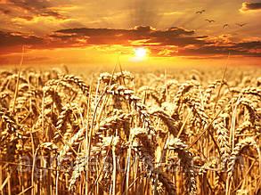 Насіння пшениці озимої Литановка (еліта)