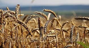 Насіння пшениці озимої Ужинок (1 репродукція)