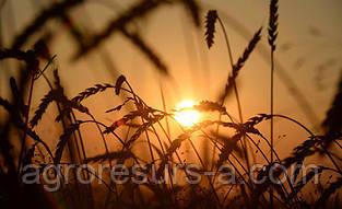 Насіння пшениці озимої Вдала (еліта)