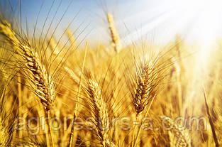 Насіння озимої пшениці Зыск