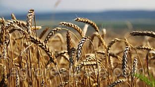 Сорт озимої пшениці Місія Одеська