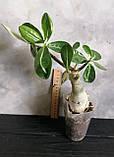 Адениум Wasabi (взрослое растение, не цветет ), фото 3