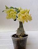 Адениум Wasabi (взрослое растение, не цветет ), фото 2