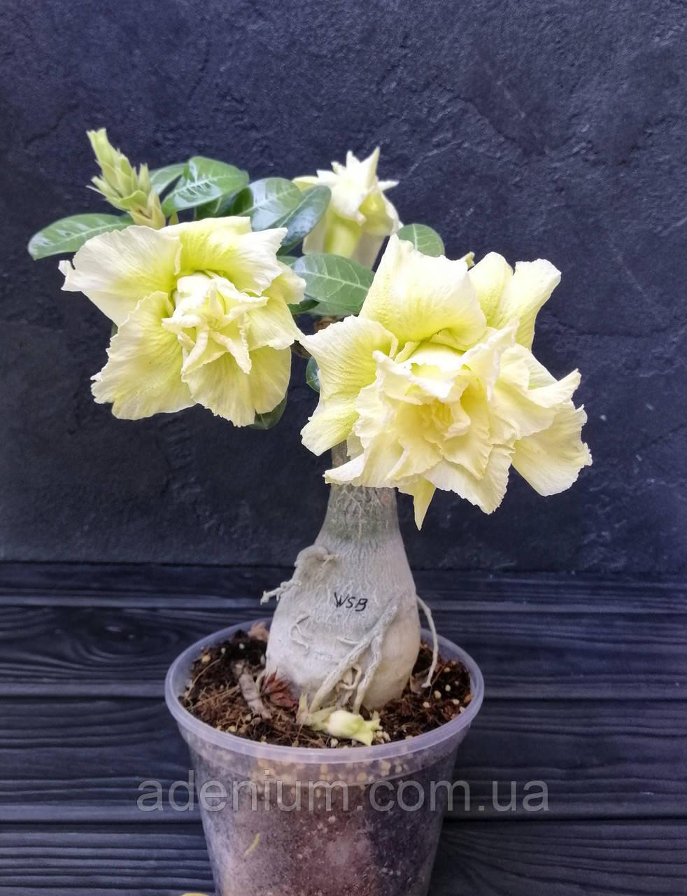 Адениум Wasabi (взрослое растение, не цветет )