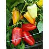 Семена перца сладкого Цинтия F1, 5000 семян