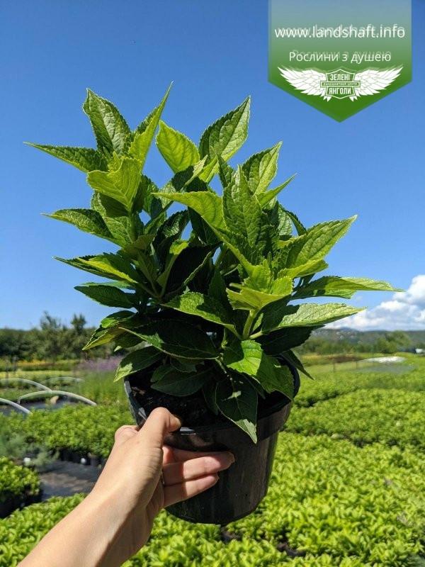 Hydrangea macrophylla mix, Гортензія крупнолиста в асортименті,C2 - горщик 2л