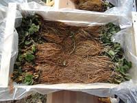Клубника (земляника садовая) по технологии Frigo (фриго): преимущества и недостатки