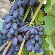 Виноград Академик (ранний)