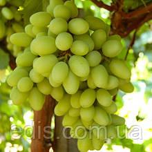 Виноград Изюминка ранняя