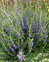 Саджанці гісоп лікарський (3-річні), північна лаванда, синій звіробій, бджолина трава, медонос.