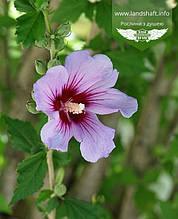 Hibiscus syriacus, Гібіскус сирійський,P7-Р9 - горщик 9х9х9